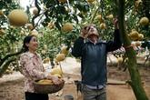 Bưởi Diễn tại vườn giá từ 40 nghìn, nông dân tất bật hái bán Tết