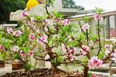 Sân thượng trồng gần trăm gốc đào cổ chi chít quả ở Lạng Sơn