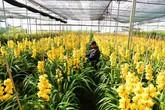 70% địa lan Đà Lạt bị nở trước Tết, người trồng phải bán với giá rẻ đi 10 lần