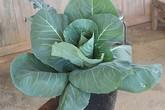 Bắp cải, dưa Nam Mỹ... hóa thành cây cảnh Tết
