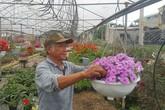 Trồng hoa đẹp bán Tết, lão nông kiếm hàng trăm triệu