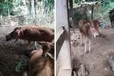 Kỳ lạ chuyện người nghèo từ chối nhận bò hỗ trợ giảm nghèo ở Sơn La