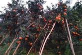 Hàng ngàn hecta loại cam trị bệnh cảm cúm ở Hương Sơn, Hà Tĩnh chín mọng chờ thu hoạch dịp Tết