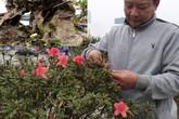 Đỗ quyên bonsai chưng Tết giá gần tỷ