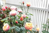 Dịnh thự ngập hoa hồng của nữ ca sĩ tuổi Tuất nổi tiếng với những bản tình ca trữ tình, da diết