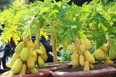 """Đu đủ """"tí hon"""" quả chi chít, vàng óng giá cả triệu đồng/cây gây xôn xao chợ Tết"""