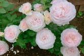 Mẹ Việt dồn hết tâm huyết để biến góc nhỏ trong vườn trở thành khu vườn hồng đẹp ngọt ngào