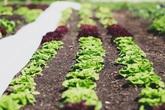 Người đàn ông tự trồng rau quả sạch trên khu vườn rộng 225m² của gia đình ở ngoại ô