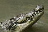 Ly kỳ chuyện bé gái 11 tuổi móc mắt cá sấu cứu bạn