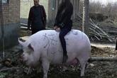 Chạy đua nhân giống siêu lợn vì giá thịt lợn tăng vọt