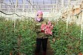 Trồng 5.000m2 hoa hồng, mỗi tháng bỏ túi 50 triệu đồng ngon ơ