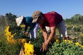 Lãi lớn nhớ bán cúc tiger đất để phục vụ Tết Nguyên tiêu