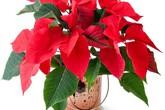 Ngày Tết chưng hoa Trạng nguyên rất đẹp nhưng có độc không?