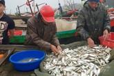 """Ra biển """"săn"""" cá trích, cá mạu, ngư dân Hà Tĩnh thu tiền triệu mỗi ngày"""