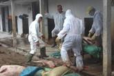 Bệnh dịch tả lợn châu Phi đã xuất hiện tại 7 huyện của tỉnh Hải Dương