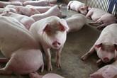 Hết dịch tả rồi đến sán lợn, người chăn nuôi nuốt nước mắt bán tống bán tháo loài vật này