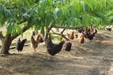 Cô gái 9X về quê nuôi loại gà đặc biệt, bán hơn 1 triệu đồng/con
