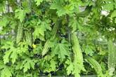 """Khu vườn xanh mướt một màu như """"trang trại"""" rau quả sạch mini của mẹ đảm ở Sài Gòn"""