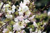 2 vạn cành hoa anh đào từ Nhật Bản khoe sắc giữa Thủ đô trong lễ hội 2019