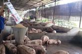 Giá heo hơi tăng mạnh giữa ảnh hưởng của dịch tả lợn Châu Phi