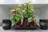 """Trồng khoai lang phiên bản bonsai gây sốt, mất vài nghìn mà """"chảnh"""" như tiền triệu"""