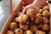 Vùi 5 củ khoai tây vào ổ rơm, 34 ngày sau thu vài yến, ăn không hết phải đem bán