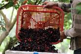 Mê đắm cảnh dâu tằm chín đỏ ruộng, người nông dân thu tiền triệu mỗi ngày