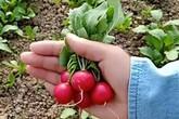 """Cô gái bỏ thành phố về quê trồng củ cải """"tí hon"""", bán gần 550.000/kg"""