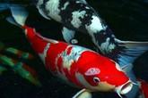 Vì sao loài cá này được bán giá 1,8 triệu USD một con
