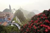 Đỗ quyên trăm tuổi đã bung nở thắm đỉnh núi Fansipan