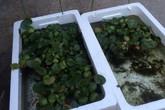 Loại lá ở Việt Nam băm cho lợn ăn, đưa sang Nhật được xem là siêu thực phẩm và bán với giá đắt đỏ