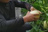 """Kiếm trăm triệu mỗi năm nhờ trồng quả """"trứng gà biến thể"""""""