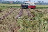 Nam Định: Rùng mình phát hiện thi thể đang phân hủy trong ruộng lúa