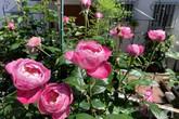 Góc vườn 20m² thơm ngát hoa hồng đủ loại của nữ giám đốc Việt ở Nhật Bản