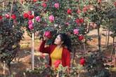 Bỏ việc nhà băng về trồng hoa hồng, 9X Lai Châu kiếm bộn tiền