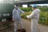 Hải Phòng: Phát hiện, thu giữ xe chở lợn chết nhiễm dịch tả lợn châu Phi
