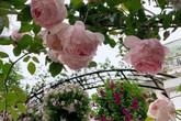 Cuộc sống bình yên của gia đình nhỏ trong ngôi nhà phủ kín hoa hồng ở Hà Nội