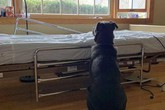 Chó kiên nhẫn chờ bên giường bệnh không biết chủ đã qua đời