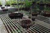 Phú Thọ: Chủ vườn bị kẻ gian đột nhập trộm 50 giò lan tiền tỷ