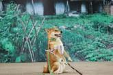 Vì sao chú chó Shiba được lựa chọn vào vai nhân vật ám ảnh nhiều thế hệ học sinh Việt Nam?