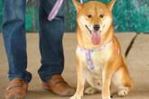 """Khán giả bức xúc trước thông tin phim """"Cậu Vàng"""" sử dụng chó Việt đóng thế chó Nhật cảnh bị ngược đãi?"""