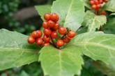 Loài cây mọc hoang ở bìa rừng nhưng lại rất tốt giúp chữa bệnh gút