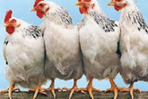 Một đầu bếp bày cách nấu món ngon khó cưỡng, còn giúp giảm béo từ gà công nghiệp