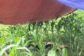 Hé lộ nguyên nhân người phụ nữ tử vong bất thường giữa cánh đồng ngô ở Hòa Bình