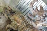 Xác minh nhóm người thả tượng 'quái thú hai đầu' xuống biển ở Cà Mau