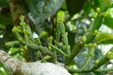Kì lạ loài thực vật sống kí sinh trên cây chè: Hình dáng giống càng cua, có giá 66 triệu đồng/kg