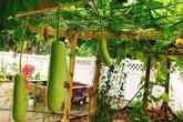 Khu vườn xanh um trĩu các loại rau, củ, quả Việt của bà mẹ đảm ở Mỹ