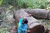 Người đàn ông chở gỗ lậu bị gỗ đè tử vong khi đang vận chuyển