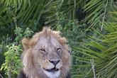 Sư tử mỉm cười bí ẩn trước ống kính máy ảnh
