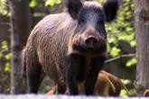 Lợn rừng vô tình giúp cảnh sát tìm thấy kho ma túy 21.000 USD giấu dưới đất
